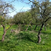 alte_streuobstwiese