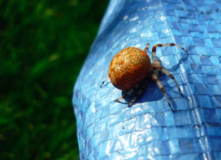 Spinne auf der Streuobstwiese